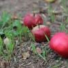 Яблочная ошибка дачников