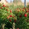 Осень — оптимальное время для высадки малины