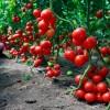 Время готовить посев томатов
