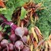 Когда собирать урожай морковки, свёклы и других корнеплодов