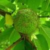 Ложный апельсин для дачи и здоровья