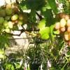 Как размножить виноград на даче