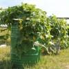 Эффективное выращивание огурцов в бочке