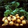 100 лет назад картофель всю зиму хранили прямо на грядках